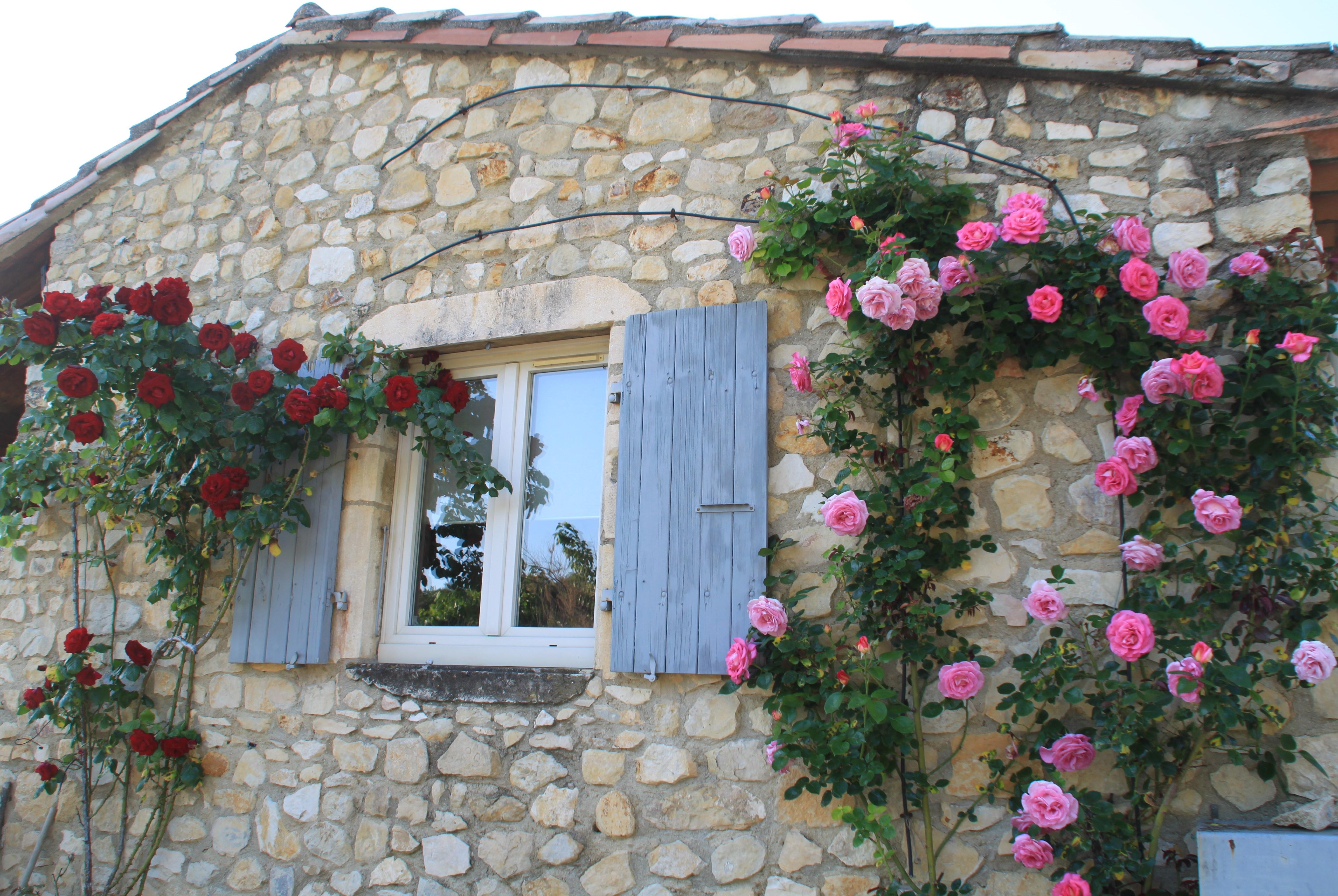 Les rosiers en fleurs
