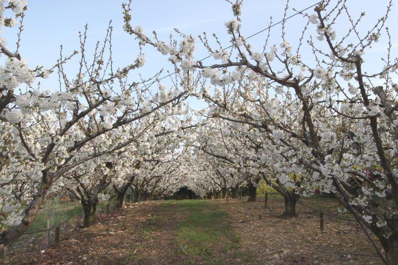 Les cerisiers en fleurs aux vergers de la Bouligaire