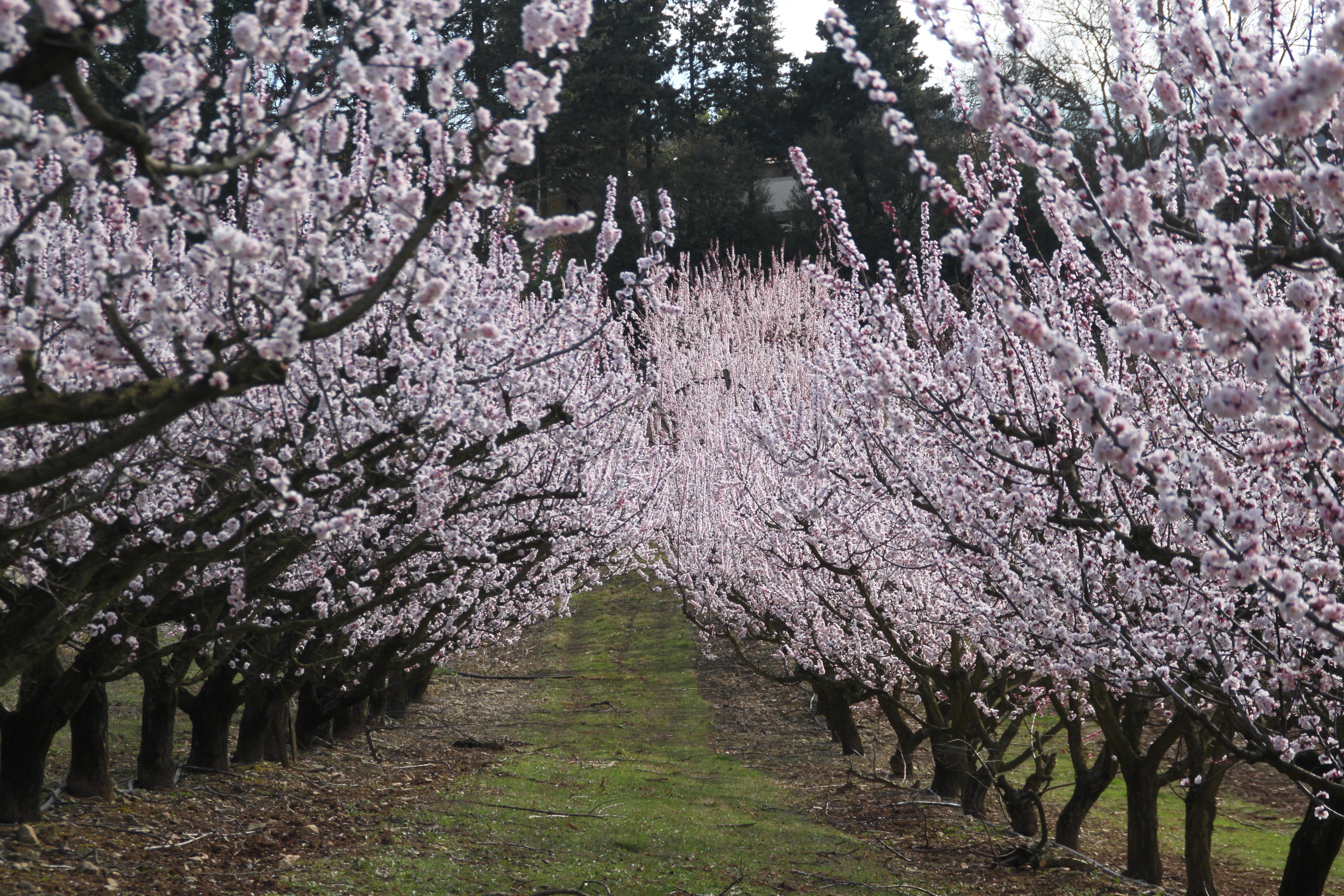 Verger d'abricotiers en fleur à côté des Vergers de la Bouligaire