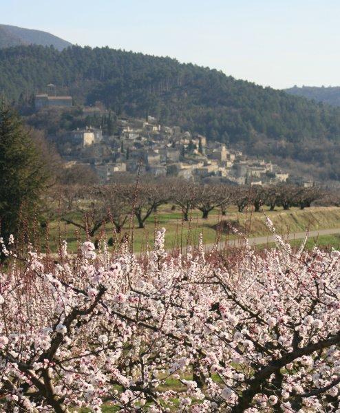 Les abricotiers en fleurs avec au fond le village de Mirmande